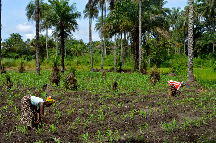 A community farm run by women on Kassirie Mataoi, Kambia District.