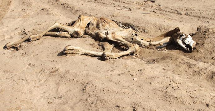 Dead camel in Kenya