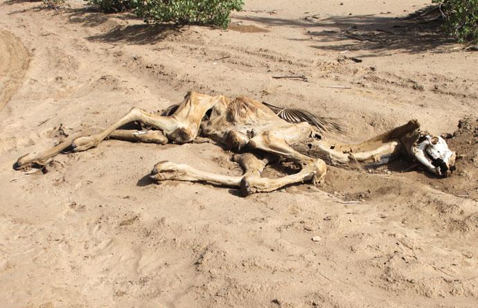 Dead camel in Nayuu