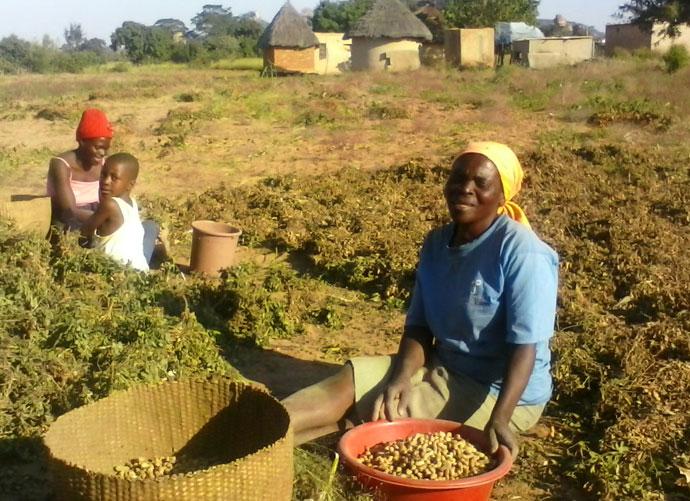 Sarafina harvesting crops, Zimbabwe
