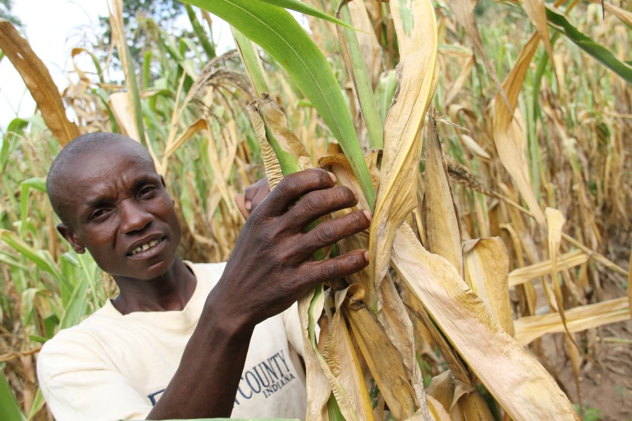 Like millions of people across the country, Stephen Muyeye is heavily reliant on maize for his family's survival. Unfortunately, many crops like Stephen's are damaged beyond use due to the lack of rain.  Photo credit: Emmet Sheerin/Trócaire.